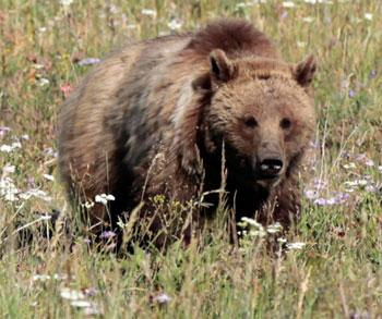Bc Student Plays Dead To Survive Grizzly Bear Attack