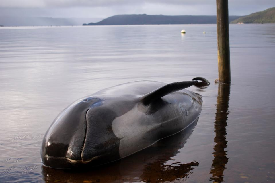 A pilot whale, one of at least 380 stranded that have died, is seen washed up in Macquarie Harbour on Tasmania's west coast on September 24, 2020. (Photo by MELL CHUN/AFP via Getty Images)