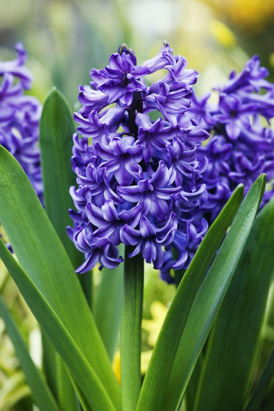 """<p>The purple version of this bloom means """"please forgive me,"""" which originates from the myth of Apollo and Hyacinthus (the former accidentally killed the latter). The perfect """"I'm sorry"""" flower, don't ya think?</p>"""
