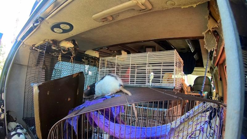 A woman who lived in a van with 320 rats in San Diego, California, has agreed to give them up for adoption: San Diego Humane Society