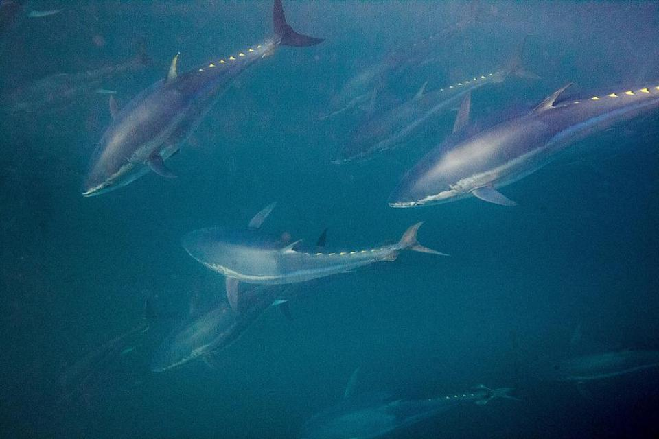 Bluefin tunas swimming around a fishermen's net during near the Spanish coast.