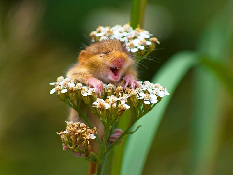 comedy wildlife mouse