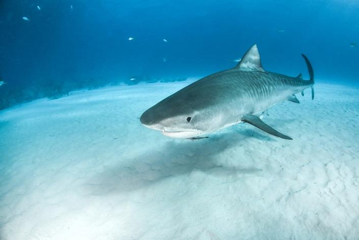 GETTY IMAGES - tiger shark