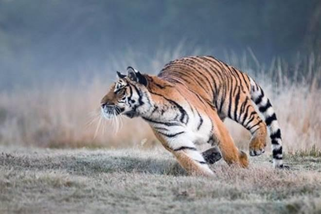 Ranthambore National Park, Sawai Madhopur, tigers, national parks, wildlife sanctuaries, Panna Tiger Reserve, Corbett Tiger Reserve, wildlife tourism