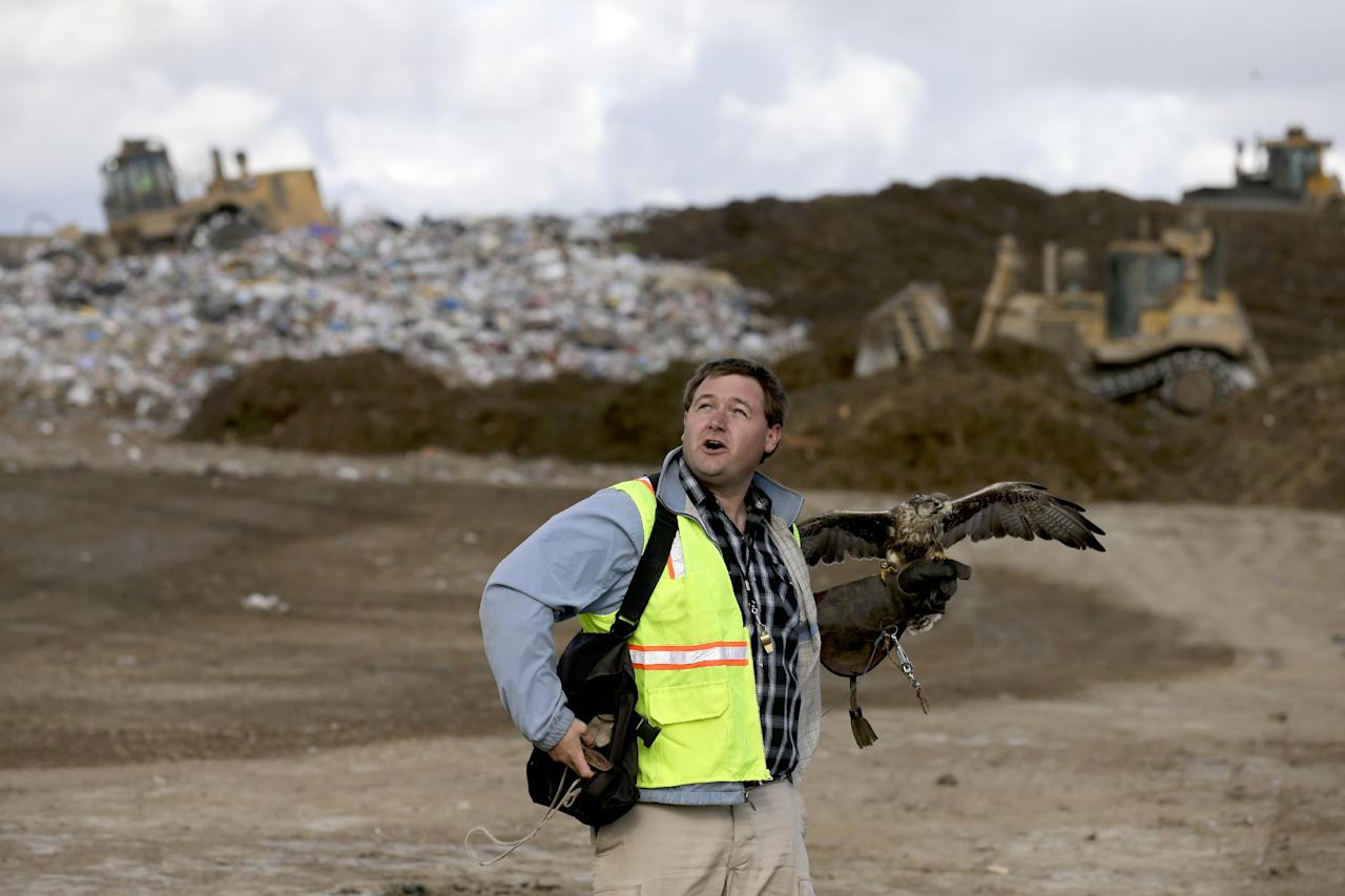 In this Oct. 28, 2013 photo, Daniel Hedin, 28, works Mia, a 5-year-old Harris hawk at the Olinda Alpha landfill in Brea, Calif. Hedin, is a subcontractor for Airstrike Bird Control, a falcon-based bird abatement company. The landfill in Brea hired the falconer to fly his birds of prey to scare away the seagulls. (AP Photo/Chris Carlson)