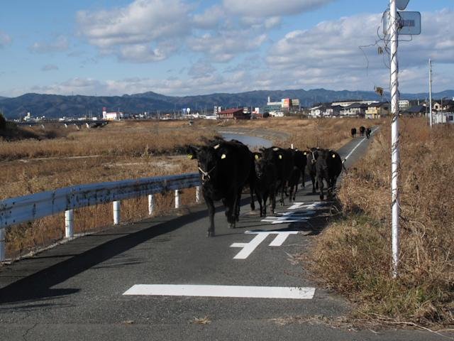 A cows which are escaped from a farm across the street in Namie town, where is inside the exclusion zone of a 20km radius around the crippled Fukushima Daiichi nuclear power plant, December 25, 2011, in this handout photo relased by UKC Japan. Dogs and cats that were abandoned in the Fukushima exclusion zone after last year's nuclear crisis have had to survive high radiation and a lack of food, and they are now struggling with the region's freezing winter weather. A 9.0-magnitude earthquake and massive tsunami on March 11 triggered the world's worst nuclear accident in 25 years and forced residents around the Fukushima Daiichi nuclear power plant to flee, with many of them having to leave behind their pets. Picture taken December 25, 2011. REUTERS/UKC Japan/Hanout (JAPAN)