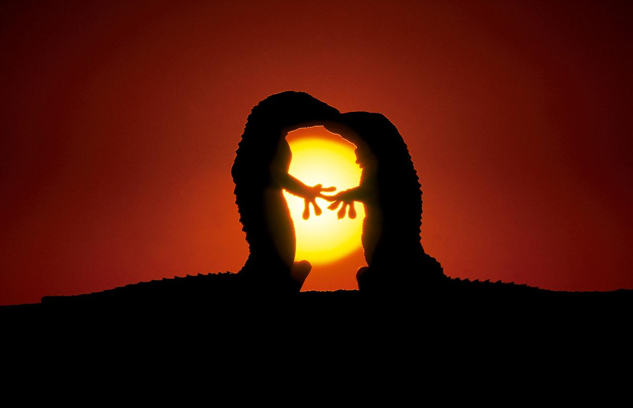 <p>Two lizards kiss at sunset in Spain. (Photo: Jose Mingorance/Caters News) </p>