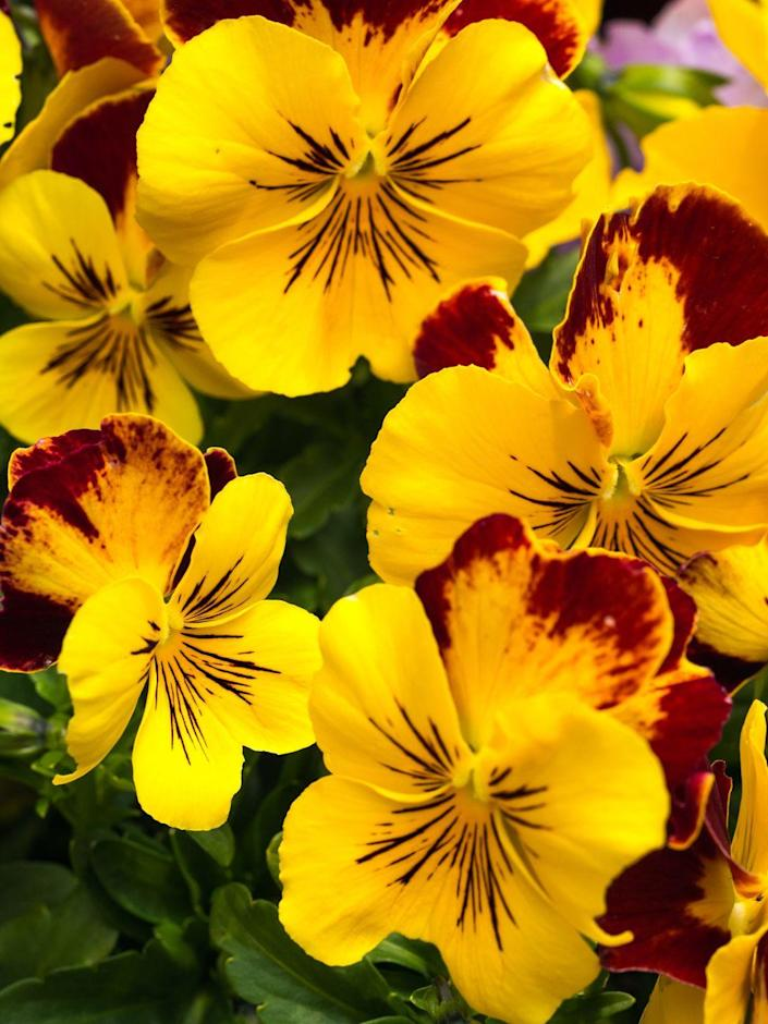 """<p>Pansies are a favorite for fall—with good reason. They last for weeks, will tolerate a light frost or two, and come in tons of pretty, eye-catching colors. Though technically annuals, some varieties will hang on through a mild winter and reappear next spring.</p><p><a class=""""link rapid-noclick-resp"""" href=""""https://go.redirectingat.com?id=74968X1596630&url=https%3A%2F%2Fwww.burpee.com%2Fpansy-spreading-plentifall-white-prod000309.html&sref=https%3A%2F%2Fwww.housebeautiful.com%2Fdesign-inspiration%2Fg37704306%2Fthe-10-best-plants-for-fall-color%2F"""" rel=""""nofollow noopener"""" target=""""_blank"""" data-ylk=""""slk:SHOP NOW"""">SHOP NOW</a></p>"""