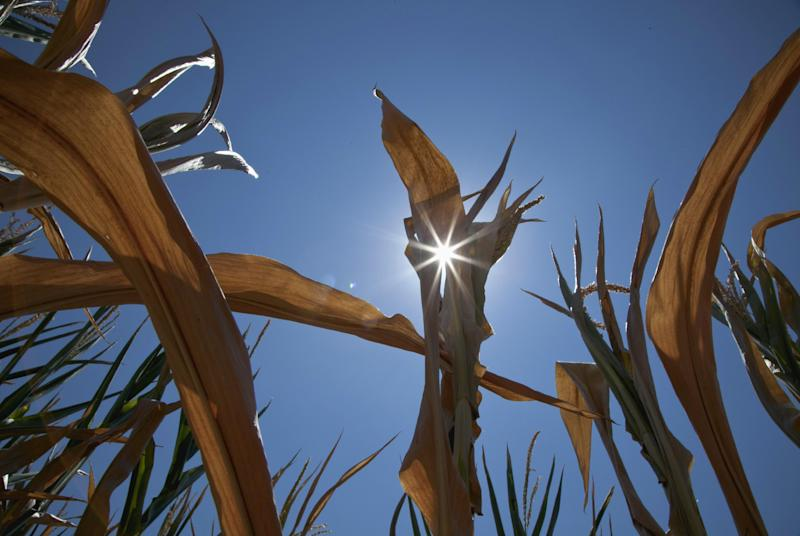 A dry field of corn is seen near Fremont, Neb., Monday, July 16, 2012. The drought gripping the United States is the widest since 1956, according to new data released by the National Oceanic and Atmospheric Administration. (AP Photo/Nati Harnik)