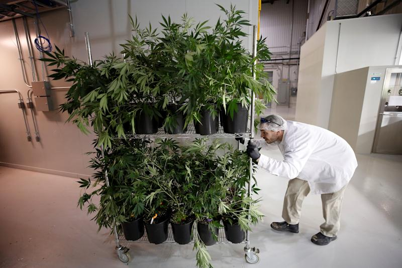 A worker pushes a cart of marijuana plants at the Canopy Growth Corporation facility in Smiths Falls, Ontario, Canada, January 4, 2018. Picture taken January 4, 2018. To match Insight CANADA-MARIJUANA/INNOVATION REUTERS/Chris Wattie