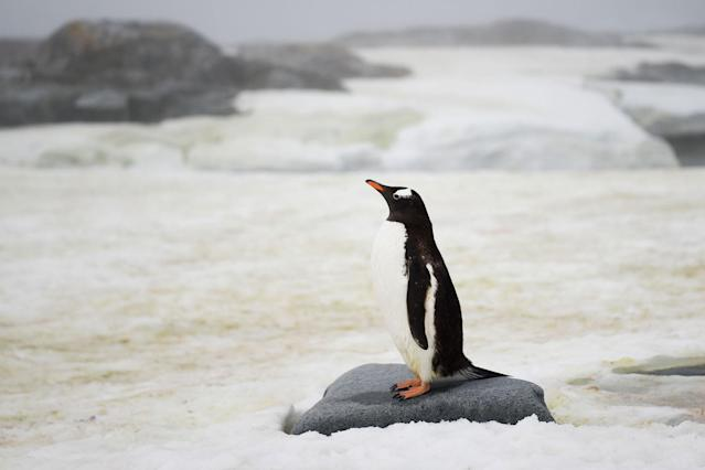 <p>A Gentoo is pictured in Petermann Island, Antarctica, on March 2, 2016. (Photo: Eitan Abramovich/AFP/Getty Images) </p>