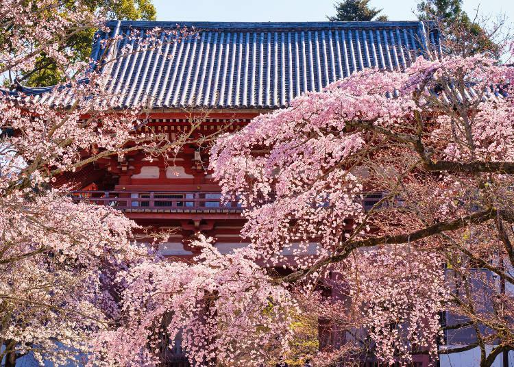 About 1,000 cherry trees are scattered across the vast grounds