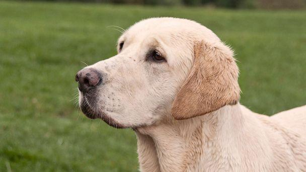 PHOTO: An undated stock photo of a golden Labrador. (STOCK PHOTO/Getty Images)