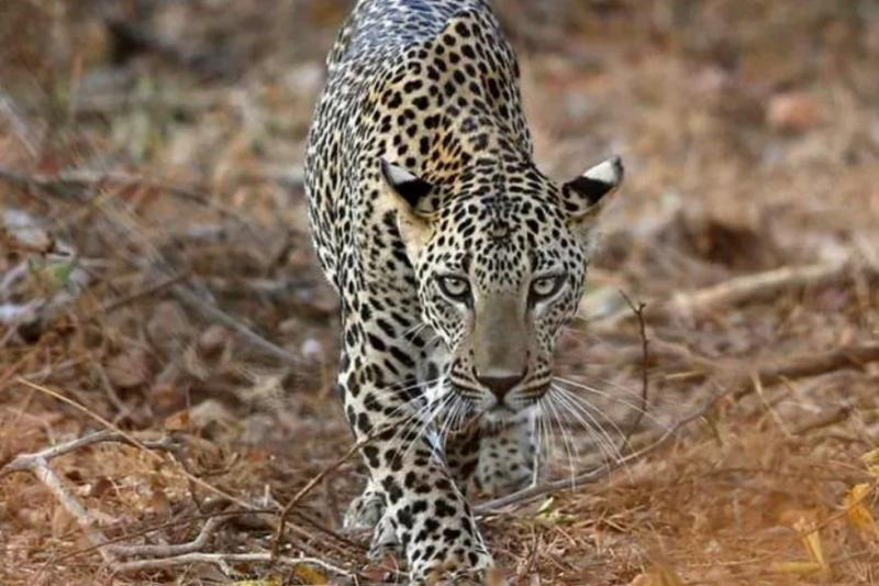 Narrow Escape for Kids as Leopard Breaks into UP School and Attacks Dog