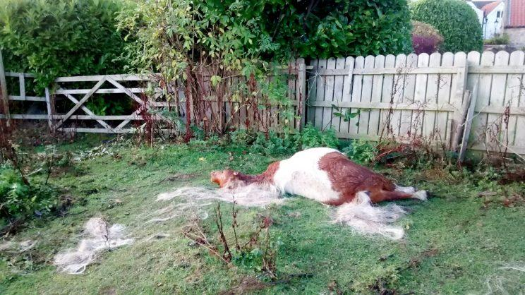 Targeted - it is thought Bobby may have been targeted because he couldn't run as fast as the other horses and ponies