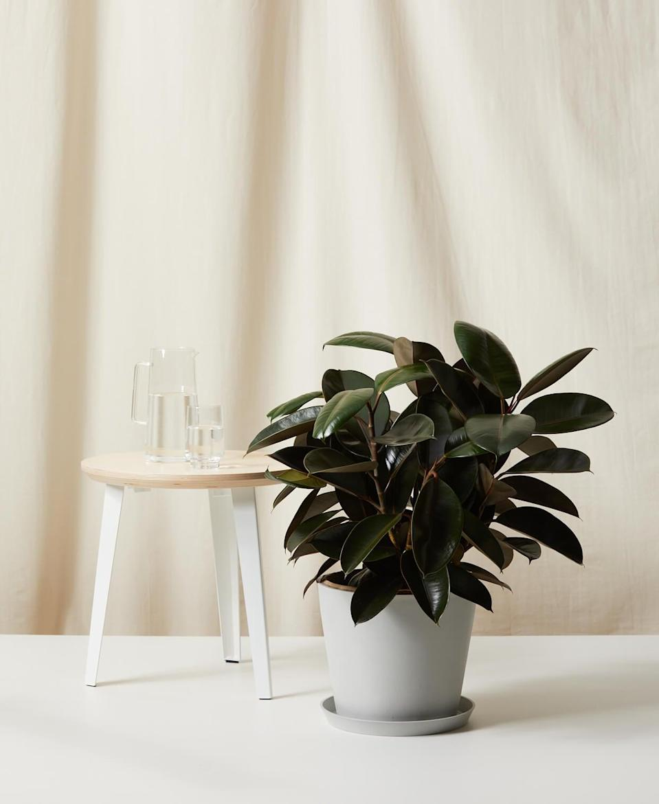 <p>This air-purifying <span>Bloomscape Burgundy Rubber Tree</span> ($169) is one of the easiest plants to take care of. </p>
