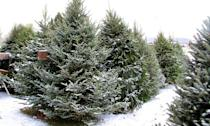 "<p>For those who like to go all-out with decorations, the Fraser Fir might be the best bet. ""The needles are soft to the touch but at the same time<strong> its branches are stiff and will <a href=""https://www.canr.msu.edu/news/choosing_the_right_christmas_tree"" rel=""nofollow noopener"" target=""_blank"" data-ylk=""slk:hold up well to ornaments"" class=""link rapid-noclick-resp"">hold up well to ornaments</a></strong>,"" Radin says. ""It has a nice evergreen scent and needle retention is excellent."" Dr. Ali adds that this is the type of tree most often used at the White House.</p><p><strong>RELATED:</strong> <a href=""https://www.goodhousekeeping.com/interactive/a29862022/how-to-decorate-a-christmas-tree-professionally/"" rel=""nofollow noopener"" target=""_blank"" data-ylk=""slk:How to Decorate Your Christmas Tree Like a Pro"" class=""link rapid-noclick-resp"">How to Decorate Your Christmas Tree Like a Pro</a></p>"