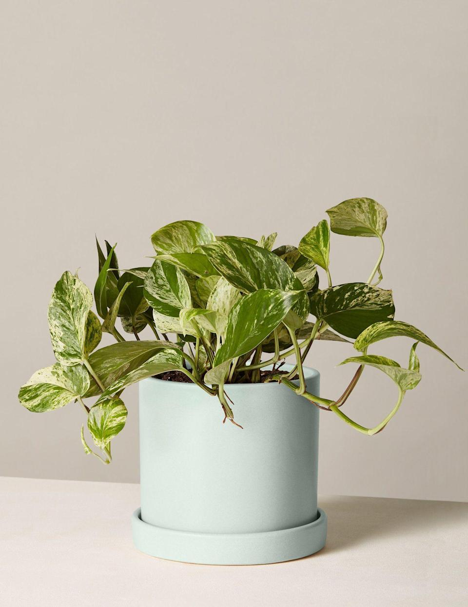 "<p>thesill.com</p><p><a href=""https://go.redirectingat.com?id=74968X1596630&url=https%3A%2F%2Fwww.thesill.com%2Fproducts%2Fpothos-marble%3Fvariant%3D32566613475433&sref=https%3A%2F%2Fwww.elledecor.com%2Fshopping%2Fg36322862%2Fbest-bathroom-plants%2F"" rel=""nofollow noopener"" target=""_blank"" data-ylk=""slk:Shop Now"" class=""link rapid-noclick-resp"">Shop Now</a></p><p>There's a reason why pothos are considered one of the most low-maintenance house plants around. Compatible with low-light environments, they're a sound choice for spaces that have minimal natural sunlight (Read: a windowless powder room). This species doesn't have a strict watering schedule—a little H20 every one to two weeks is sufficient—so it can thrive well the extra moisture. And thanks to its cascading, vinelike branches, a potted pothos would look dashing on a bathroom shelf.</p>"