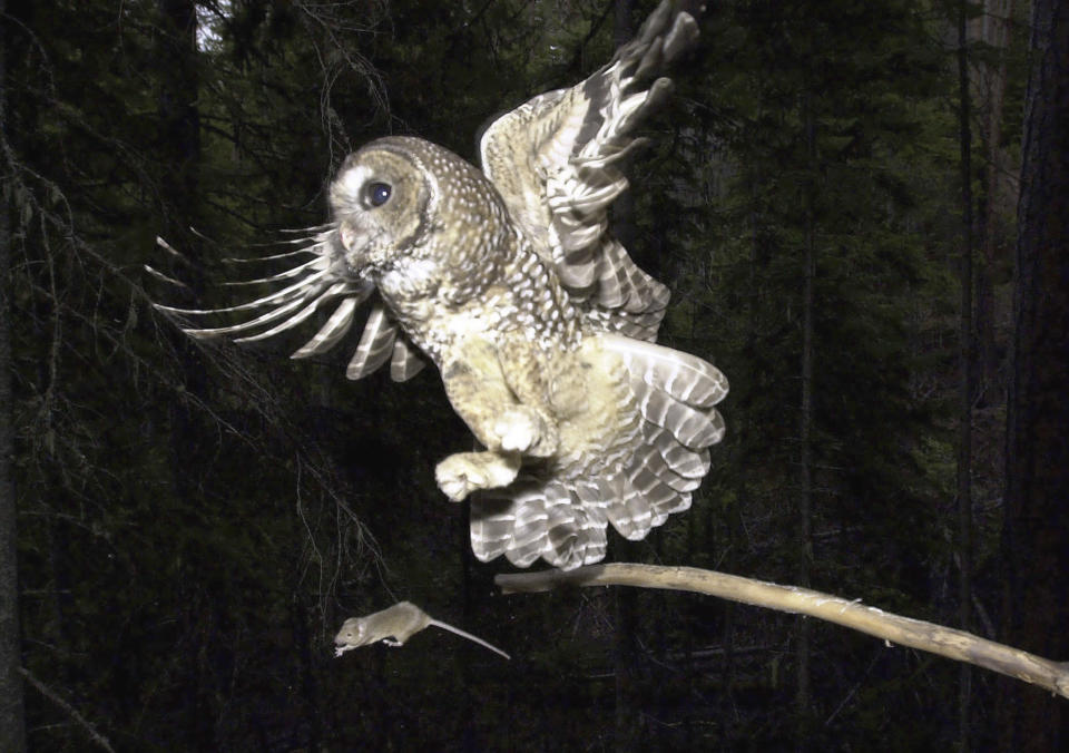 """FILE - In this May 8, 2003, file photo, a Northern Spotted Owl flies after an elusive mouse jumping off the end of a stick in the Deschutes National Forest near Camp Sherman, Ore.. The Trump administration is moving to restrict what land and water can be declared as """"habitat"""" for imperiled plants and animals, potentially excluding areas that species could use in the future as climate change upends ecosystems. (AP Photo/Don Ryan, File)"""