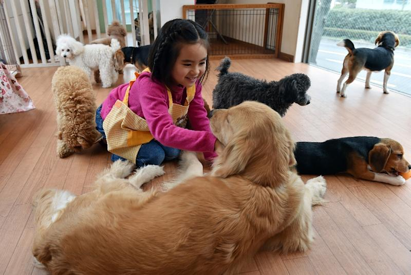 Rino Kakinuma, 7, plays with toy poodles, beagles and a golden retriever at the Dog Heart cafe in Tokyo, February 22, 2015 (AFP Photo/Yoshikazu Tsuno)