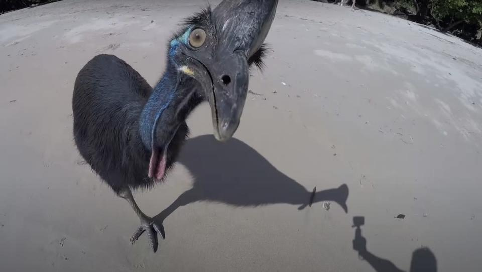 A cassowary bird looking at a person holding a camera on a beach