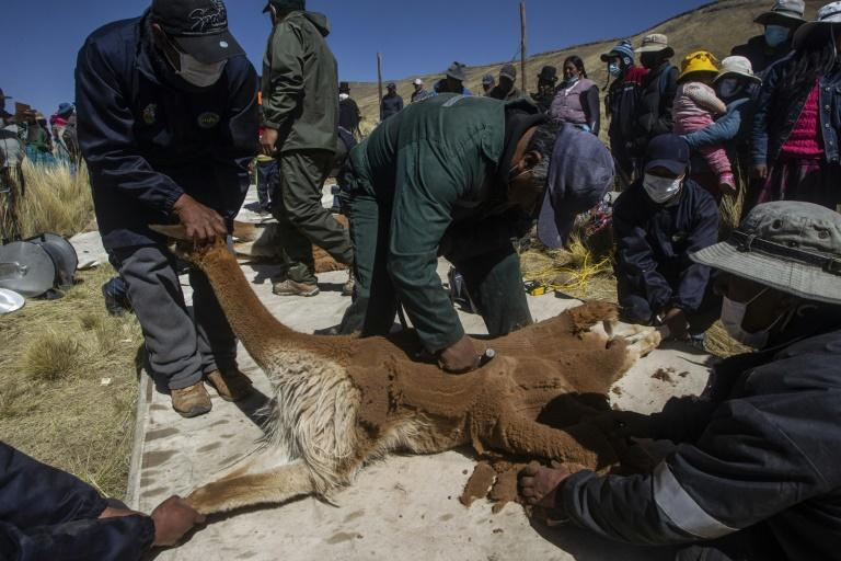 """Peruvian """"comuneros"""" hold down a vicuna to shear it in the annual """"chaccu"""" tradition (AFP/Carlos MAMANI)"""