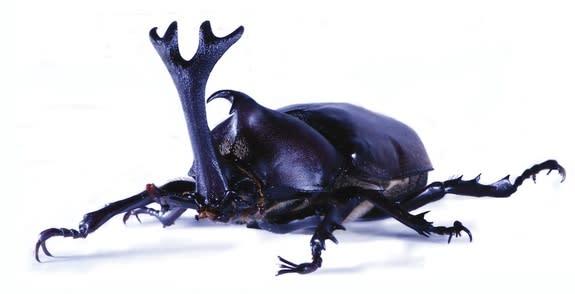 How the Rhinoceros Beetle Got Its Horns