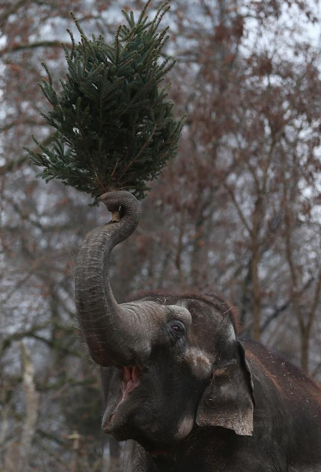 An Elephant munchs on Christmas trees in her enclosure at Berlin's Zoologischer Garten zoo on January 4, 2013 in Berlin, Germany. Traditionally, the animals get in the first week of the year leftover Christmas trees.  (Photo by Andreas Rentz/Getty Images)