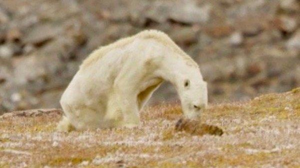 Heartbreaking Video Shows Starving Polar Bear On Warming Canadian Island