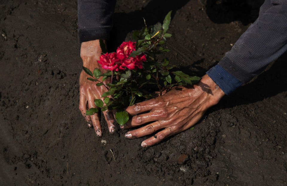 "Cemetery worker Jorge Arvizu plants a rose bush on a grave at the municipal cemetery Valle de Chalco amid the new coronavirus pandemic, on the outskirts of Mexico City, Tuesday, Oct. 20, 2020. Mexican families traditionally flock to local cemeteries to honor their dead relatives as part of the ""Dia de los Muertos,"" or Day of the Dead celebrations, but according to authorities the cemeteries will be closed this year to help curb the spread of COVID-19. (AP Photo/Marco Ugarte)"