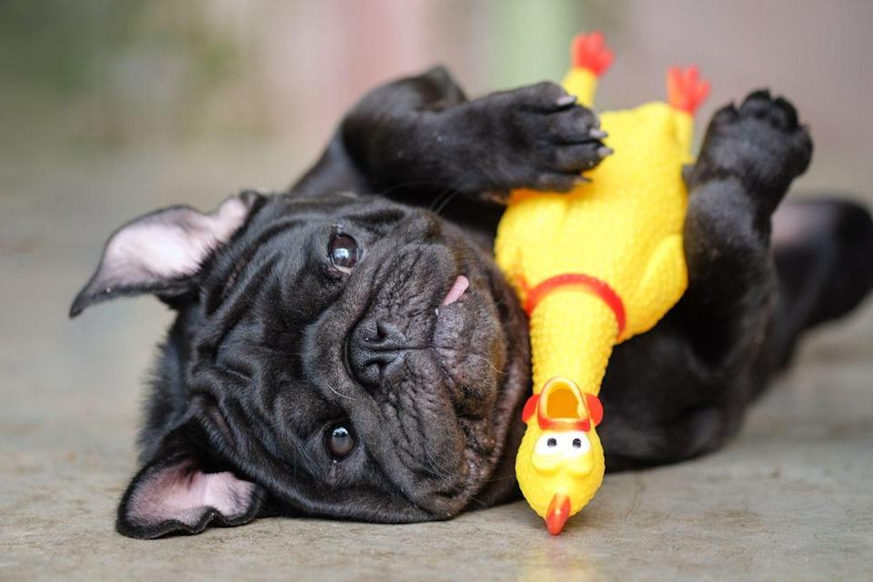pug dog lying on concrete road with yellow chicken toy