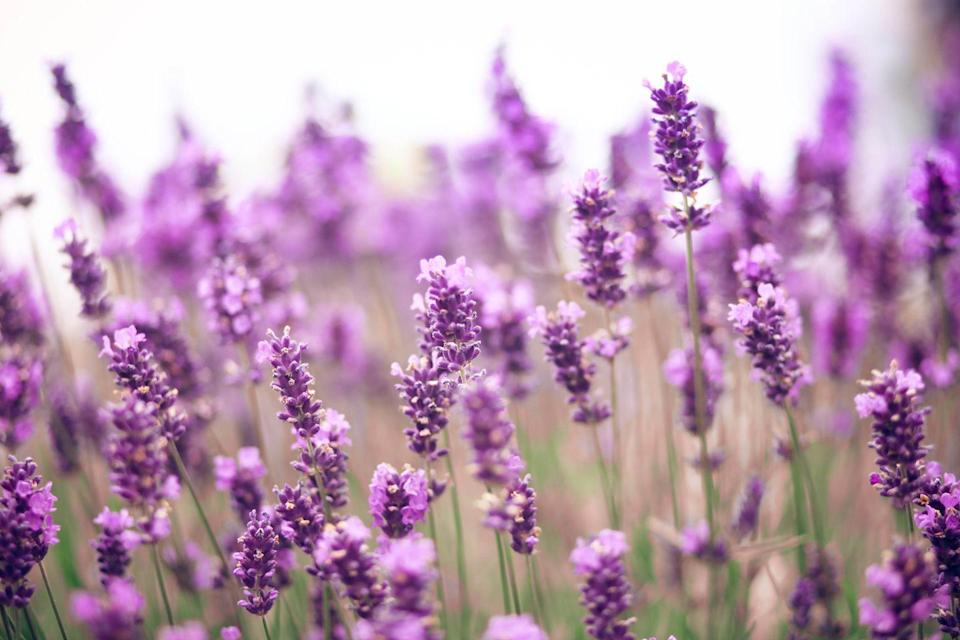 """<p>Lavender is a classic summer flower, and is also relatively easy to dry at home, which means you can have gorgeous, fragrant dried flowers throughout the colder months of the year, too.</p><p><a class=""""link rapid-noclick-resp"""" href=""""https://www.hgtv.com/outdoors/flowers-and-plants/herbs/dried-lavender#:~:text=Hang%20bundles%20upside%20down%20to,10%20days%2C%20depending%20on%20humidity."""" rel=""""nofollow noopener"""" target=""""_blank"""" data-ylk=""""slk:Buy lavender seeds."""">Buy lavender seeds.</a></p>"""