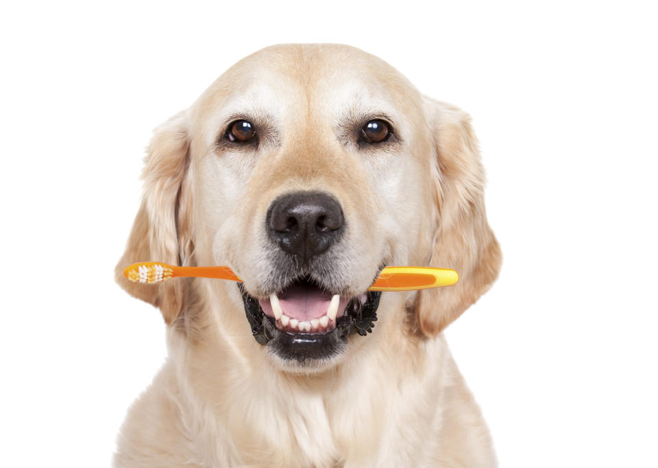 Golden Retriever with toothbrush for dental care - isolated on white