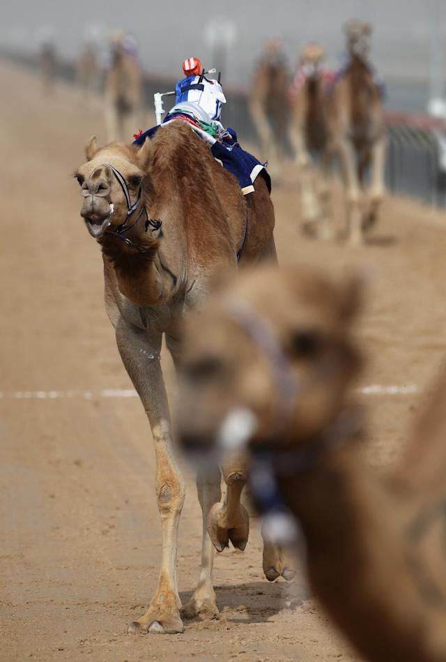 DUBAI, UNITED ARAB EMIRATES - APRIL 16: A robotic jockey wips a camel during Al Marmoom Heritage Festival at the Al Marmoom Camel Racetrack on April 16, 2014 in Dubai, United Arab Emirates. The festival promotes the traditional sport of camel racing within the region. (Photo by Francois Nel/Getty Images)
