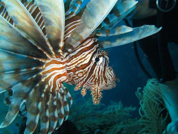 Sharks No Match for Invasive Lionfish