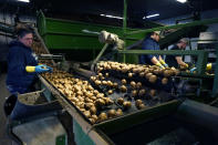 In a March 11, 2021 photo, potatoes are examined along a conveyor belt before being loaded into a tractor trailer at the Sackett Potato farm in Mecosta, Mich. For generations, Brian Sackett's family has farmed potatoes that are made into chips. About 25% of the nation's potato chips get their start in Michigan, which historically has had reliably cool air during September harvest and late spring but now is getting warmer temperatures. (AP Photo/Carlos Osorio)