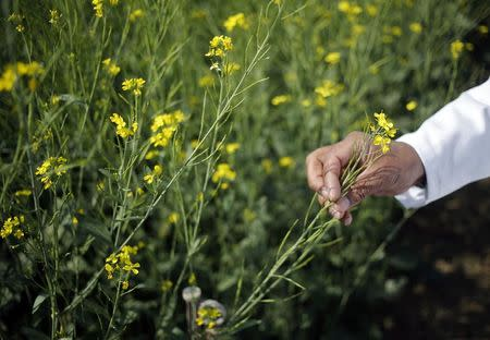 An Indian scientist holds a genetically modified (GM) rapeseed crop under trial in New Delhi February 13, 2015. Picture taken February 13, 2015. REUTERS/Anindito Mukherjee