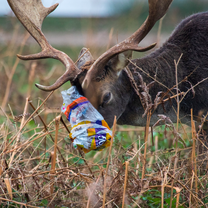 A stag is tangled in plastic after being attracted to left over picnic scraps left in bags. (Royal Parks)