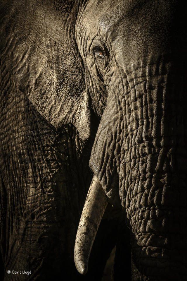 <p>At dusk, in Kenya's Maasai Mara National Reserve, David waited for the herd of elephants on their evening trek to a waterhole. As they got closer to his vehicle, he could see that the mellow light from the fast-setting sun was emphasizing every wrinkle andhair. (David Lloyd / Wildlife Photographer of the Year) </p>
