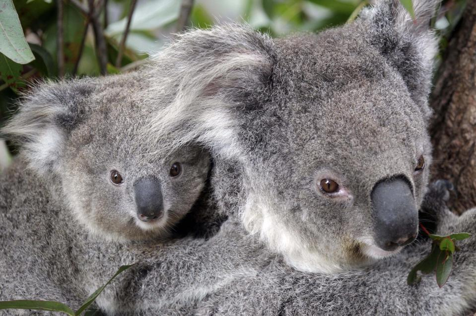 Trained rescuers are unable to go out looking for surviving koalas until the conditions clear. Source: AP Photo / Rob Griffith.