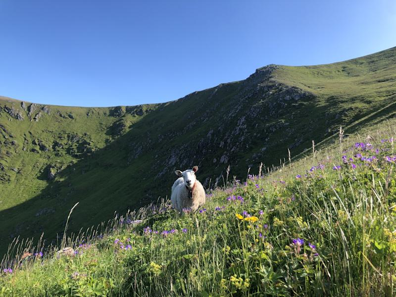 A sheep grazing on the side of Måtinden
