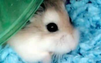 Pebbles the hamster - Credit: Belen Aldecosea