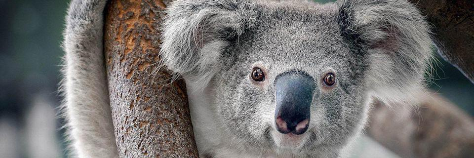 """<p>worldwildlife.org</p><p><strong>$11.00</strong></p><p><a href=""""https://gifts.worldwildlife.org/gift-center/gifts/Species-Adoptions/Koala.aspx"""" rel=""""nofollow noopener"""" target=""""_blank"""" data-ylk=""""slk:Shop Now"""" class=""""link rapid-noclick-resp"""">Shop Now</a></p><p>Turns out, you can actually adopt a wild animal, in spirit at least. This donation from the <a href=""""https://www.worldwildlife.org/"""" rel=""""nofollow noopener"""" target=""""_blank"""" data-ylk=""""slk:World Wildlife Fund"""" class=""""link rapid-noclick-resp"""">World Wildlife Fund</a> comes with a certificate, or you can opt for an adoption kit that comes with a stuffed toy for kiddos. There are over 100 different animals to choose from, and your donation will go towards keeping the species and its habitat safe.</p>"""