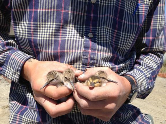 A family of long-legged shorebirds adopted a fuzzy baby duckling in California's San Francisco Bay.
