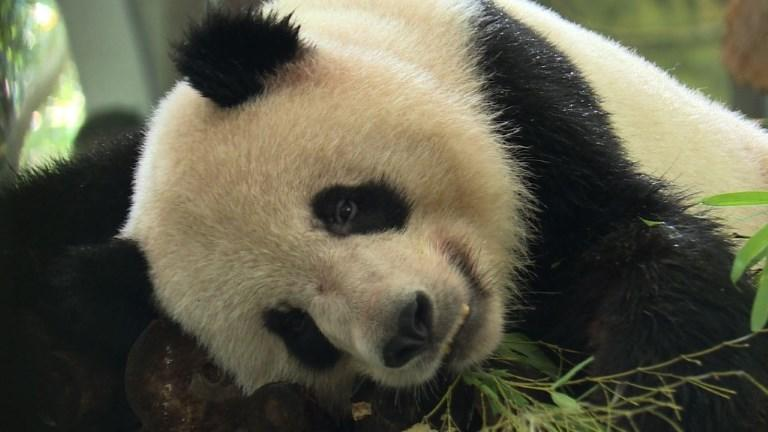 "Pandas and tigers among animals keeping cool at Shanghai zoo as a record breaking heat wave continues to bake China. Authorities have issued a weather ""red alert"" over the stubborn heat that is plaguing much of the country."