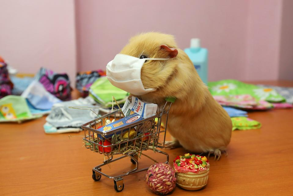 "A view shows a guinea pig with a protective mask, widely used as a measure to prevent the spread of coronavirus disease (COVID-19), and a toy shopping cart during a demonstration in the office of a public organization, which recently launched the production of face masks for their further distribution among seniors and low-income citizens, in Kharkiv, Ukraine March 26, 2020. The guinea pig, named Ukrop (Dill), lives in the office of the multi-member family association ""AMMA"" and receives care from its members. REUTERS/Vyacheslav Madiyevskyy"