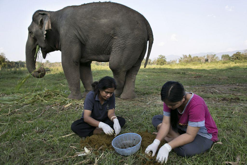 Mahout's wives Niang (L) and Lynda (R) pick out coffee beans from elephant dung at an elephant camp at the Anantara Golden Triangle resort in Golden Triangle, northern Thailand.