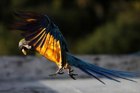 A macaw flies over a rooftop of a building with a piece of banana in its beak in Caracas