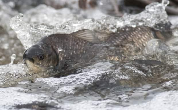 Hundreds of Prussian carp, an invasive species, travel upstream, exhibiting spawning behaviour in a channel at Frank Lake, says Sturk.