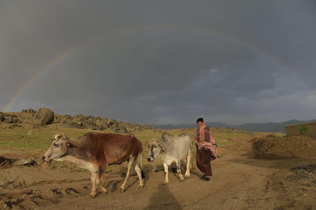 <p>An Afghan man leads his cows as a rainbow forms in the background in Daykundi province on May 11, 2016.<br> Nili, the capital of Daykundi, one of the thirty-four provinces of Afghanistan, is located about 310 kilometres west of Kabul. (Photo: Shah Marai/ AFP/Getty Images) </p>